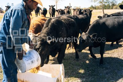 Man feeding cattle on farm